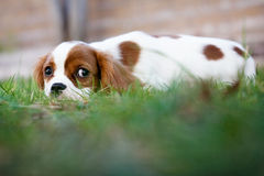 Dog in Grass. Dog laying in grass looking at the camera stock image