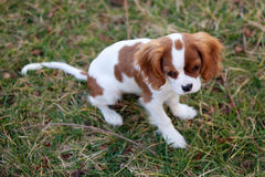 Dog in Grass. Dog standing in grass looking down royalty free stock images