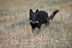 Dog in grass. The dog Harras with a stick in mouth in the grass Royalty Free Stock Images