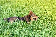 Dog in grass. Dog walkink in tall drass stock photos
