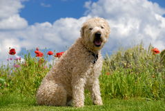Dog on grass Royalty Free Stock Photo