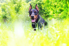 Dog in the grass Royalty Free Stock Photography
