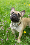 Dog at the grass background. French Bulldog in the green grass Royalty Free Stock Photo