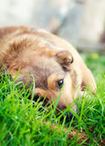 Dog in grass Royalty Free Stock Photo