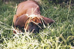 Dog in the grass Royalty Free Stock Photo