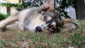 Dog on the grass stock footage