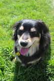 A dachshund dog Stock Photos
