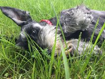 Dog in grass. Photo shows my dog lying in grass Royalty Free Stock Image