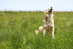Dog in grass raising head Royalty Free Stock Images