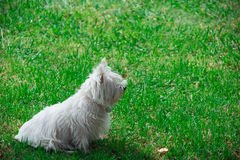 Dog on grass. Small white dog on grass Stock Image