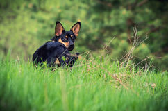 Dog on the grass Stock Photography