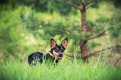 Dog on the grass Royalty Free Stock Photography