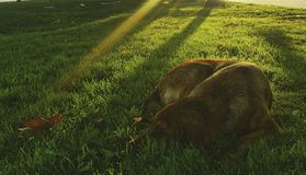 Dog on the grass & beautiful sunlight. Dog on the grass and sunlight, natural view Stock Image