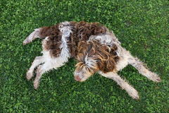 Dog on grass - Top view Royalty Free Stock Images