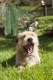 Dog on grass yawning Stock Images