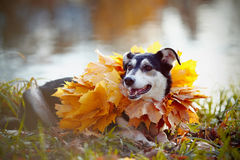 Dog on a grass in yellow autumn leaves. Stock Photo