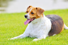 Dog on grassland Royalty Free Stock Photo