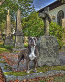 A dog with  the grave and guarding his masters grave in HDR. A faithful dog stand and guarding at his masters grave in HDR. The church is built completely in Stock Photos
