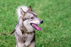 Dog gray husky laika with a leash in profile against a backgr royalty free stock images