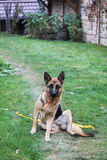 Dog. Great Shepherd looks straight and sitting on the grass Royalty Free Stock Images