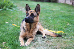 Dog. Great Shepherd looks to the side and lying on the grass Stock Images