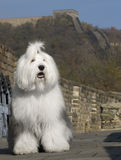 Dog in great wall. Dog in the great wall china Royalty Free Stock Images