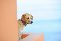 Dog on a Greek island Santorini Royalty Free Stock Photography
