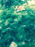 Dog in a green park. A picture of a dog in a greek park in a greek town thessaloniki Stock Images