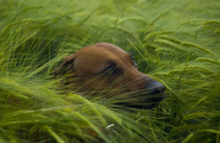 Dog in green barley field. Rhodesian ridgeback in the middle of a green and fresh grain field. Only the dogs head is looking cute out of the field. Image taken stock image