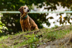 Dog. A dog with green belt around the neck sitting in the garden Royalty Free Stock Photography
