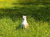 Dog in the meadow, (66) Stock Image