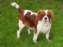 Dog on green grass. Dog - Cavalier charles spaniel king Stock Images