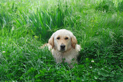 Dog and green grass Stock Photography