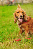 Dog on the green grass Stock Photography