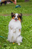 The dog is on the green grass. Beautiful Papillon dog sitting on the street stock images