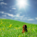 Dog on green grass field Royalty Free Stock Photo