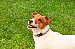Dog on green grass Royalty Free Stock Images