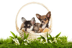 Dog on green grass isolated on white background Royalty Free Stock Photo