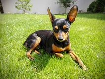 Dog in the green grass royalty free stock images