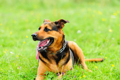 Dog on the green grass Stock Photo