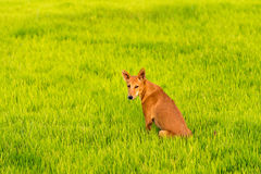 Dog on the green grass, Puttaparthi, Andhra Pradesh, India. Copy space for text. Close-up. Dog on the green grass, Puttaparthi, Andhra Pradesh, India. Copy Stock Image