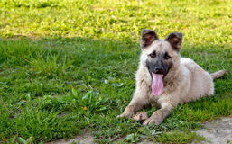 Dog on green lawn Stock Image