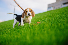Dog on green meadow. Beagle puppy walking. Dog beagle for a walk Royalty Free Stock Image