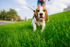 Dog on green meadow. Beagle puppy walking. Dog beagle for a walk royalty free stock photo