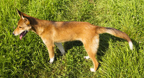 Dog on green meadow Royalty Free Stock Images