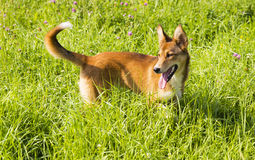 Dog on green meadow Stock Photos