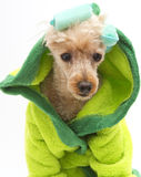 Dog In Green Robe and Curlers Royalty Free Stock Photography