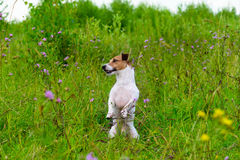 Dog in greenery high grass sitting like groundhog looking around. Jack Russell Terrier in blossoming flowers and grass stock photo