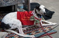 Dog (greyhound) volunteer collecting money Stock Images