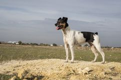 Dog posing in a field of sand in the field royalty free stock photography